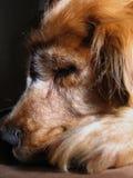 cockerspanielhundspaniel Royaltyfri Fotografi