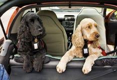 cockerspanieln dogs spanielen Arkivfoton