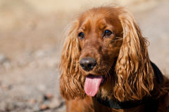 cockerspanielspaniel Royaltyfria Foton