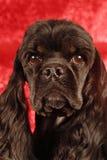 cockerspanielspaniel Royaltyfria Bilder