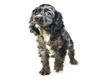 cockerspanielvalpspaniel Royaltyfria Foton
