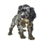 cockerspanielvalpspaniel Royaltyfria Bilder