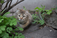 Cockeyed cat hunting street wide shot. Cat outdoor bush asphalt cute Royalty Free Stock Photos
