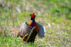 Cocking pheasant with red headhead royalty free stock photos