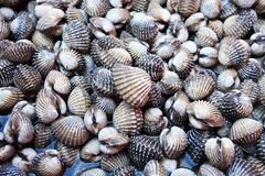 Cockle. Animals aquatic clam cockle  cockleshells  sea  seafood  seashell Royalty Free Stock Photos