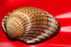 cockle cerastoderma edule Στοκ Εικόνες