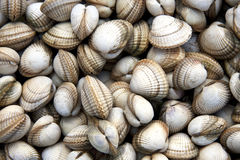 Cockle shell background Stock Images