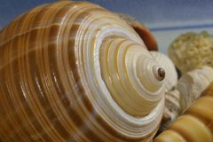 Cockle-shell Stock Image