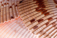 Cockle shell detail Stock Images