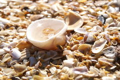 Cockle Shell Stock Photo
