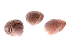 Cockle shells Stock Photography