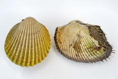 Cockles. Isolated two different sizes of cockle on white background stock image