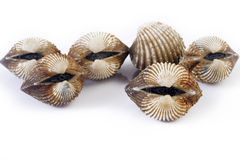 Cockles Royalty Free Stock Photography