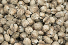 Cockles seafood background Stock Photo