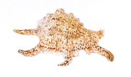 Cockleshell моря изолированный на белизне Стоковое фото RF