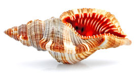 Cockleshell Stock Images