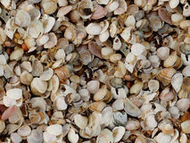 Cockleshell beach surface seashell Royalty Free Stock Photography