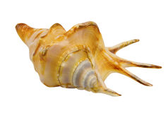 Cockleshell of the Black Sea - Rapana Royalty Free Stock Image