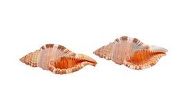 Cockleshell of the Black Sea Rapana venosa (thomassiana) Royalty Free Stock Images