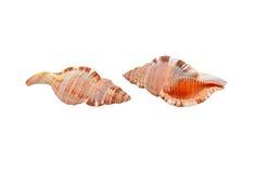 Cockleshell of the Black Sea Rapana venosa (thomassiana) Stock Photos