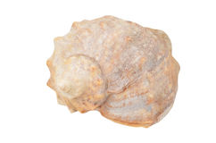 Cockleshell of the Black Sea Rapana venosa thomassiana Royalty Free Stock Photography