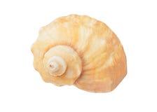 Cockleshell of the Black Sea Rapana venosa thomassiana Royalty Free Stock Image