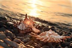 Cockleshell do mar em feixes do alvorecer Imagem de Stock