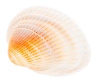 Cockleshell do mar isolado no fundo branco Fotografia de Stock