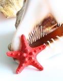 Cockleshell grande com a estrela do Mar Vermelho isolada Fotografia de Stock