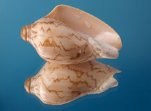 Cockleshell with reflexion. On a dark blue background Stock Photo