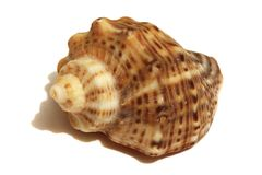 Cockleshell of a ropan Stock Images