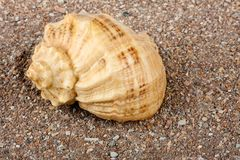 Cockleshell on sand Royalty Free Stock Photo