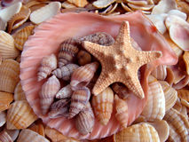 Cockleshell and starfishes Royalty Free Stock Photos