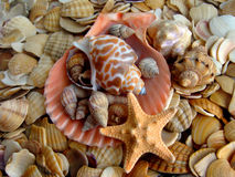 Cockleshell and starfishes Royalty Free Stock Photography