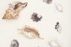 Cockleshells är på vit sand Royaltyfria Foton