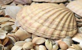 Cockleshells моря Стоковые Фотографии RF
