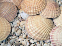 Cockleshells моря Стоковые Изображения