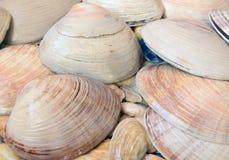 Cockleshells моря Стоковое Изображение RF