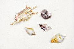 Cockleshells на белом песке Стоковые Фотографии RF