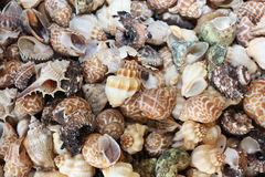 Cockleshells Royalty Free Stock Photography
