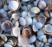 Cockleshells Royalty Free Stock Image