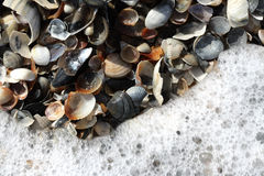 Cockleshells Royalty Free Stock Images