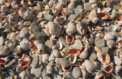 Cockleshells 3 Stock Images