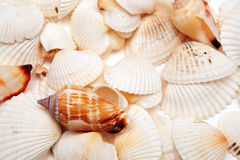Free Cockleshells Stock Photography - 4444052