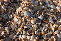Cockleshells Stock Photos