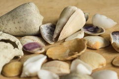 Cockleshells of a different form Stock Photography