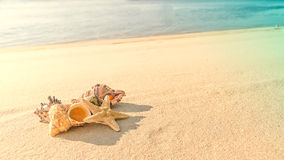 Cockleshells  lie ashore sea Royalty Free Stock Images