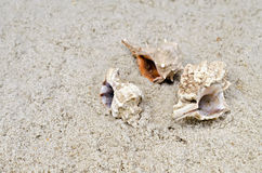 Cockleshells lie on sand Royalty Free Stock Images