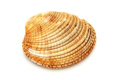 Cockleshells from the sea, from the ocean Stock Image