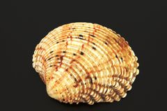 Cockleshells from the sea, from the ocean Royalty Free Stock Photography